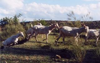 Cabra Blanca Celtibércia